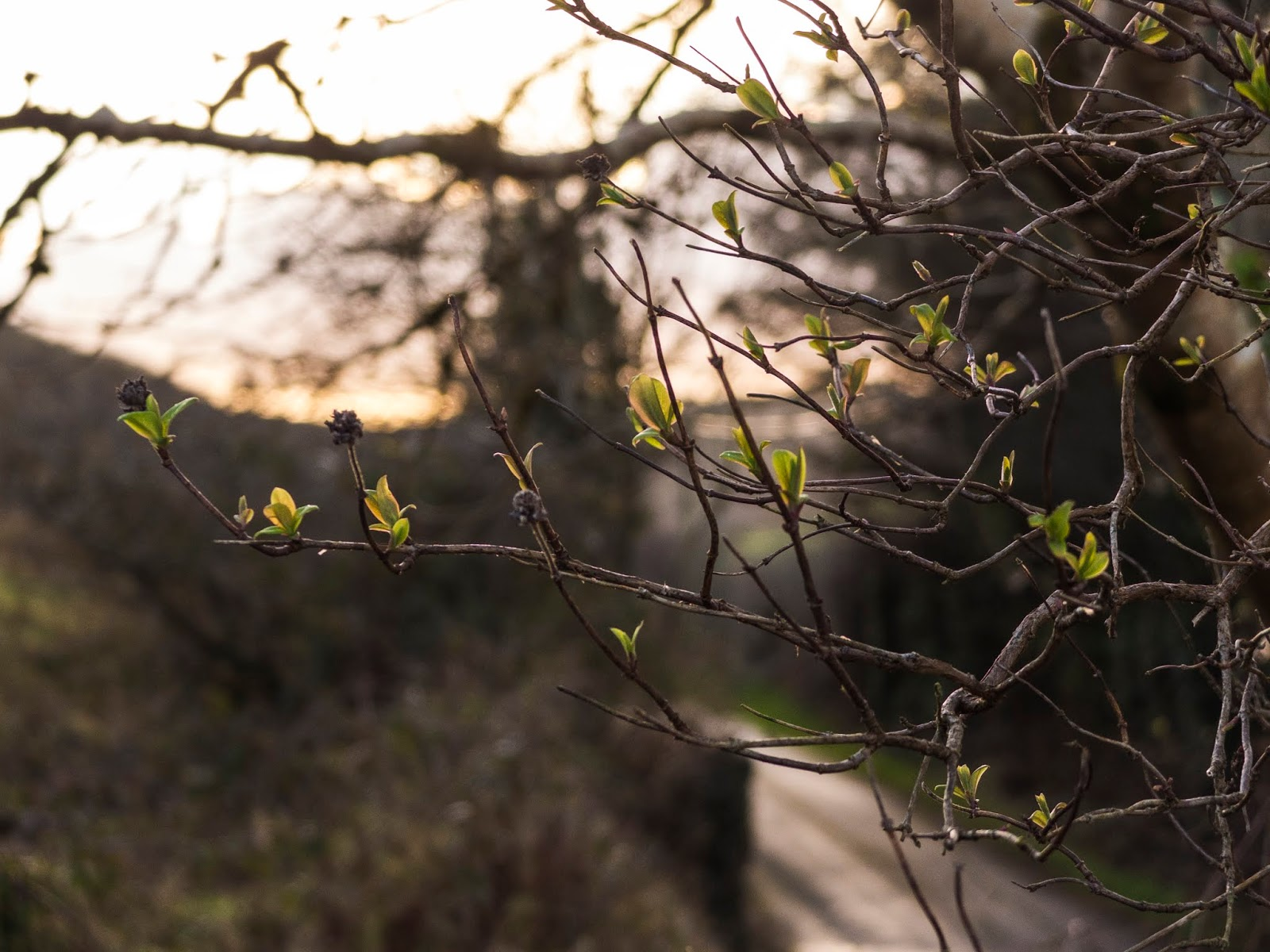 The first of spring leaves appearing on branches.