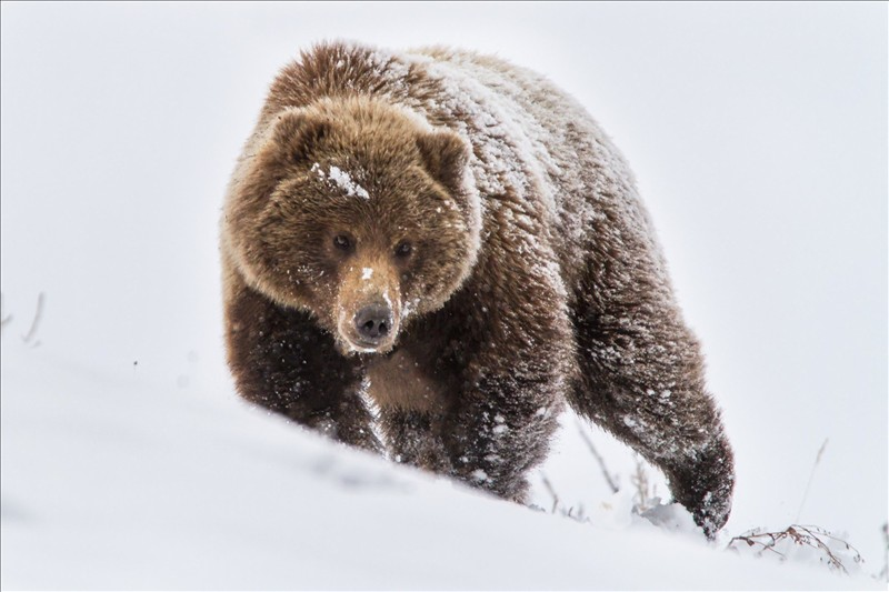 grizzly bear 008