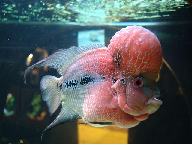 Gambar dan Foto Ikan Louhan