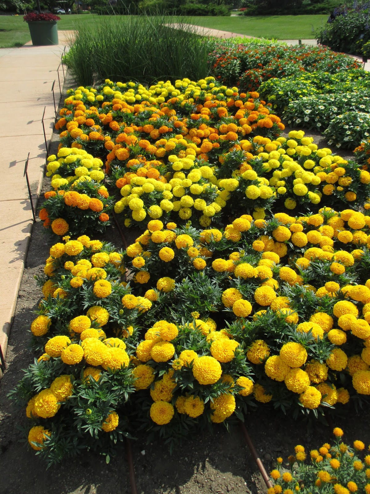 The Marigold Tarot Major Arcana The: Hort Blog: Fist-Sized Marigolds