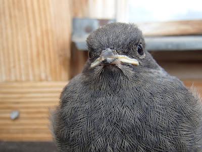 ptaki, podlot kopciuszka zwyczajnego