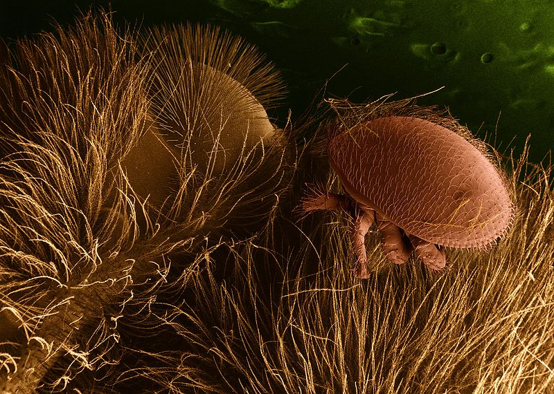 Arachnids: Varroa destructor on honeybee host