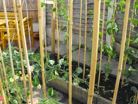 How To Grow Autumn Sowings Of Sweet Peas The Garden Of Eaden