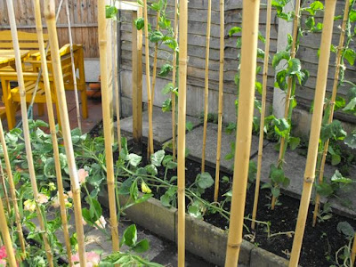 Supporting bamboo canes with newly planted sweet peas plants at the base