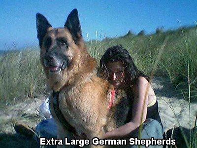 Extra Large German Shepherds