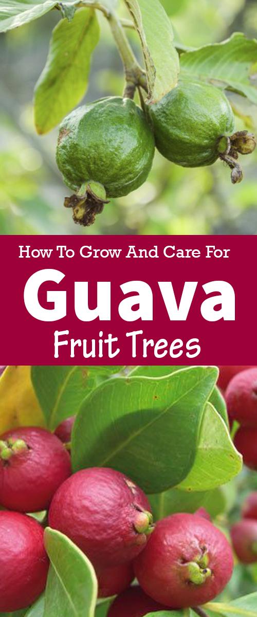 Guava care