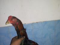 Tips mengobati ayam ngorok yang susah sembuh