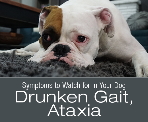 Symptoms to Watch for in Your Dog: Drunken Gait, Ataxia