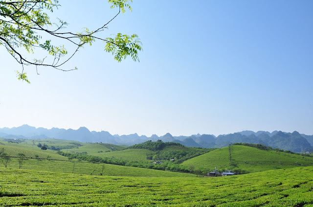 Dreaming Between Green Tea Hill in Moc Chau Plateau 1