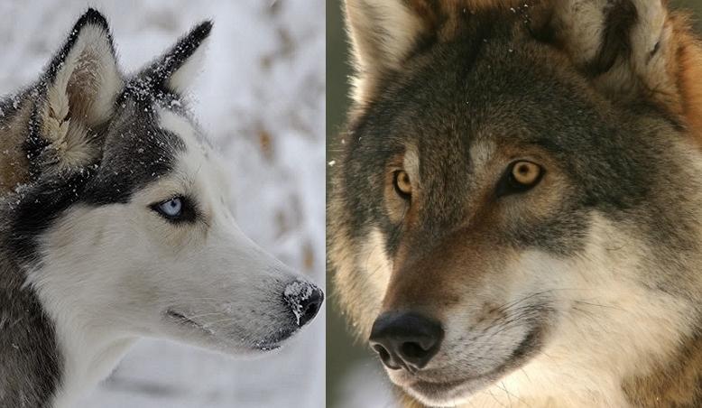 siberian wolf