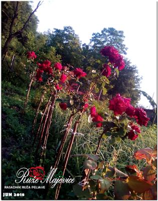 Sadnice ruža stablačica