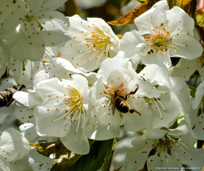passion-apiculture. le blog de l'abeille pat: cerisier en fleurs