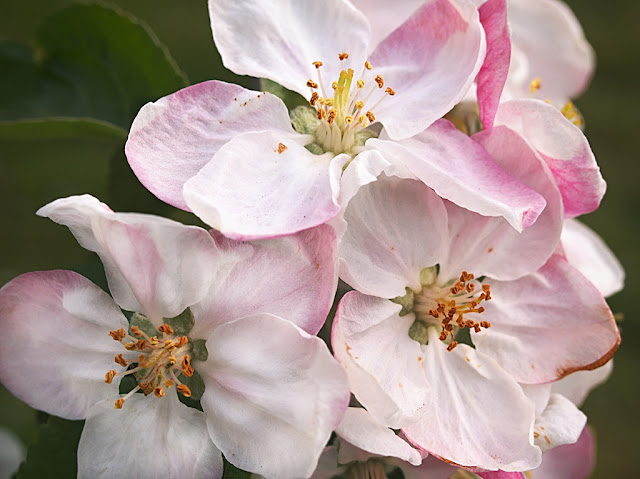 Close up of fully open apple blossom white with pink tinge and underside to petals.