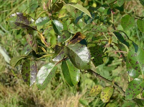 Diplocarpon Rosae чёрная пятнистость роз борьба средства обработка