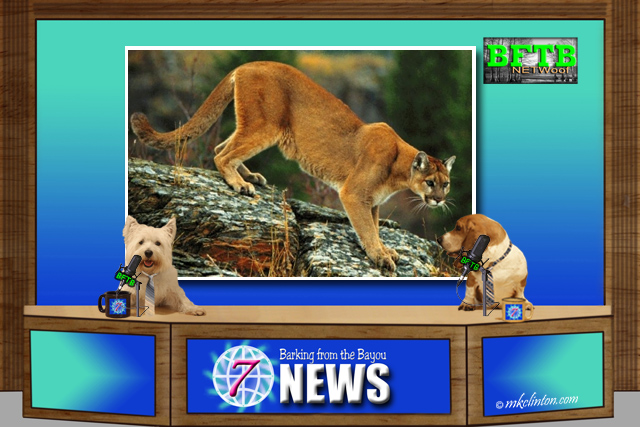 BFTB NETWoof News report on a cougar attacking a dog and human punching the cougar.