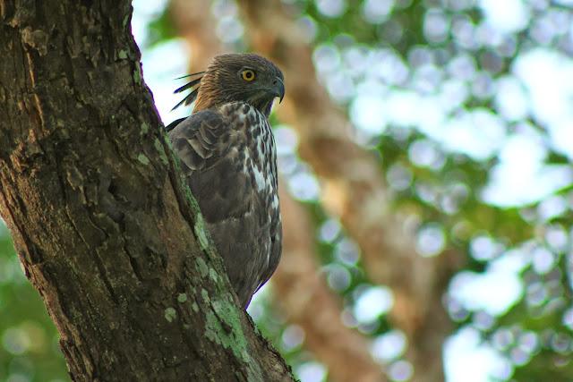 A crested hawk eagle in the jungles of K.Gudi inside BRT tiger reserve