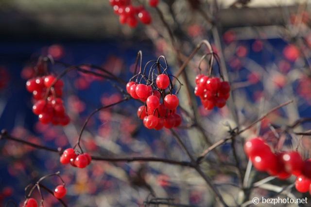 фото калины красной осенью