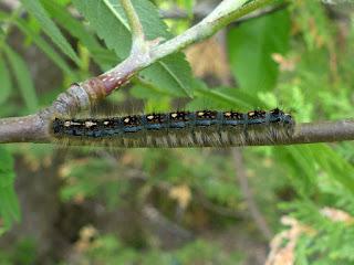 Malacosoma disstria - Livrée des forêts