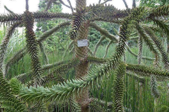 arbre à singe