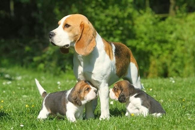 Psy królewskie