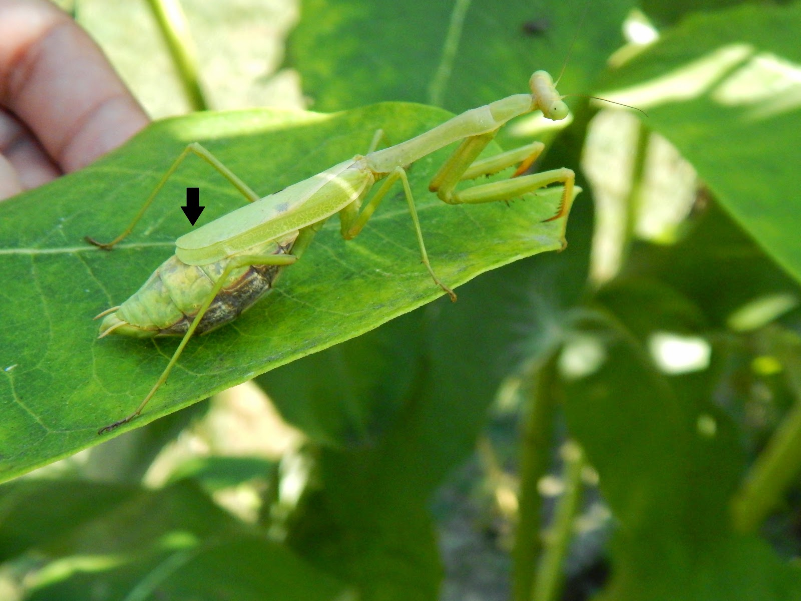 Capital Naturalist By Alonso Abugattas A Tale Of Two Mantis