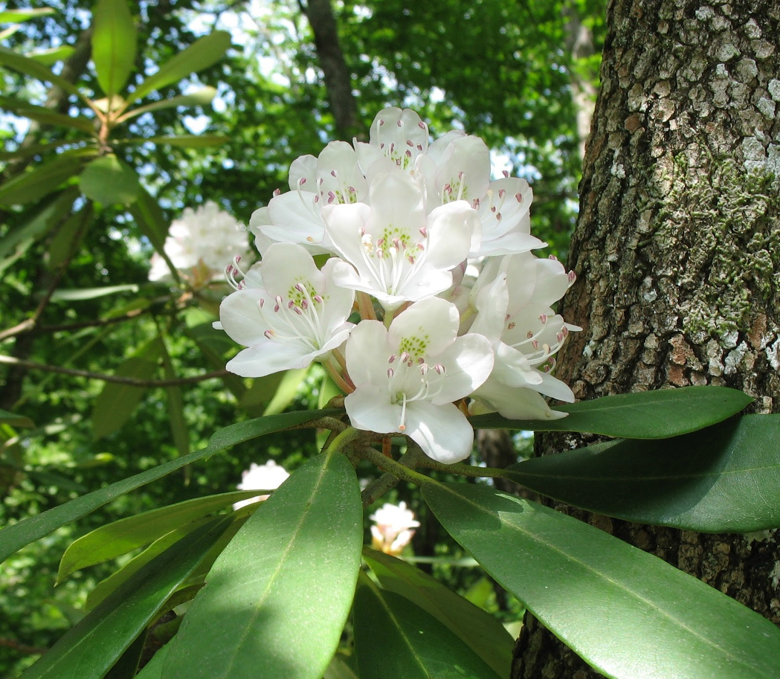Using Georgia Native Plants Great Laurel Rhododendron Maximum