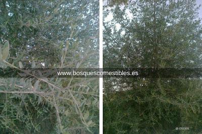El Acebuche florece en Mayo y es un árbol capaz de vivir en todo tipo de suelos