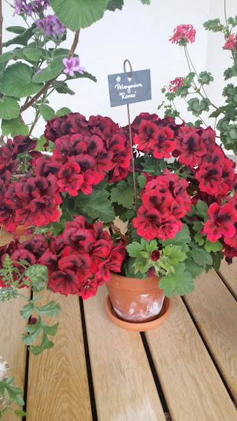 Flori pelargonii