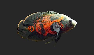 Jenis Dan Daftar Harga Ikan Oscar