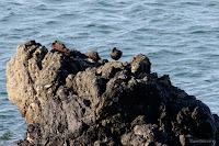 Sleeping Black Oystercatchers, Rosario Bay