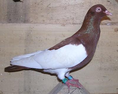 Lausitzer Purzler rot geelstert-tumbler pigeons