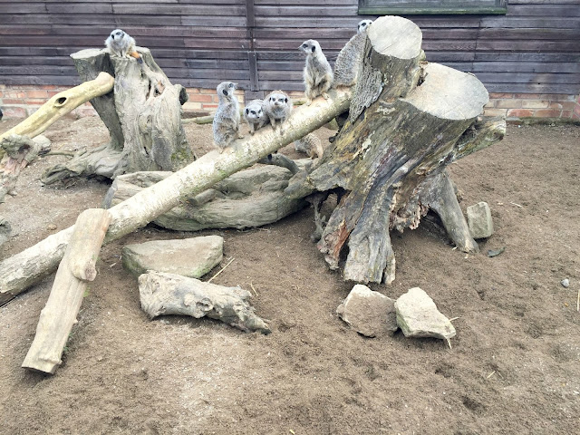 meerkats at whitehouse farm Morpeth near Newcastle UK