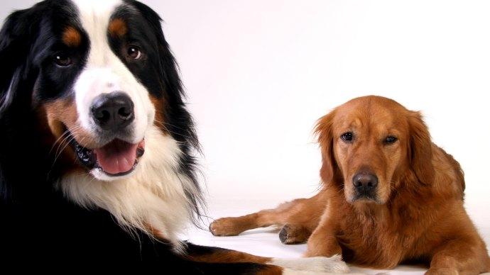 Wallpaper: Bernese Mountain Dog and Golden Retriever Dog