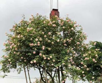cây có hoa công viên hoa hồng đào
