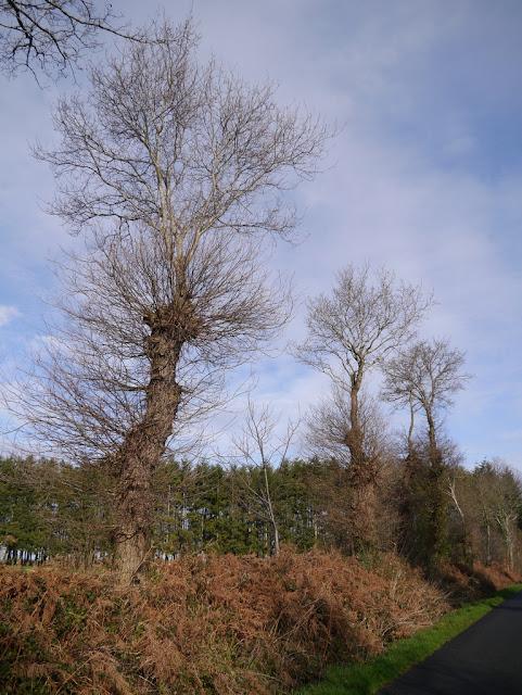 chêne taillé pays de    Redon
