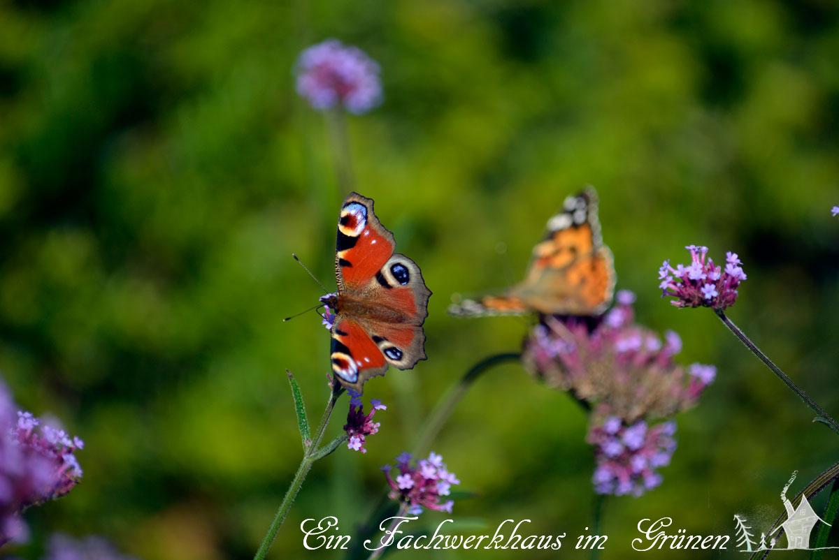 Schmetterling, Butterfly, Pfauenauge
