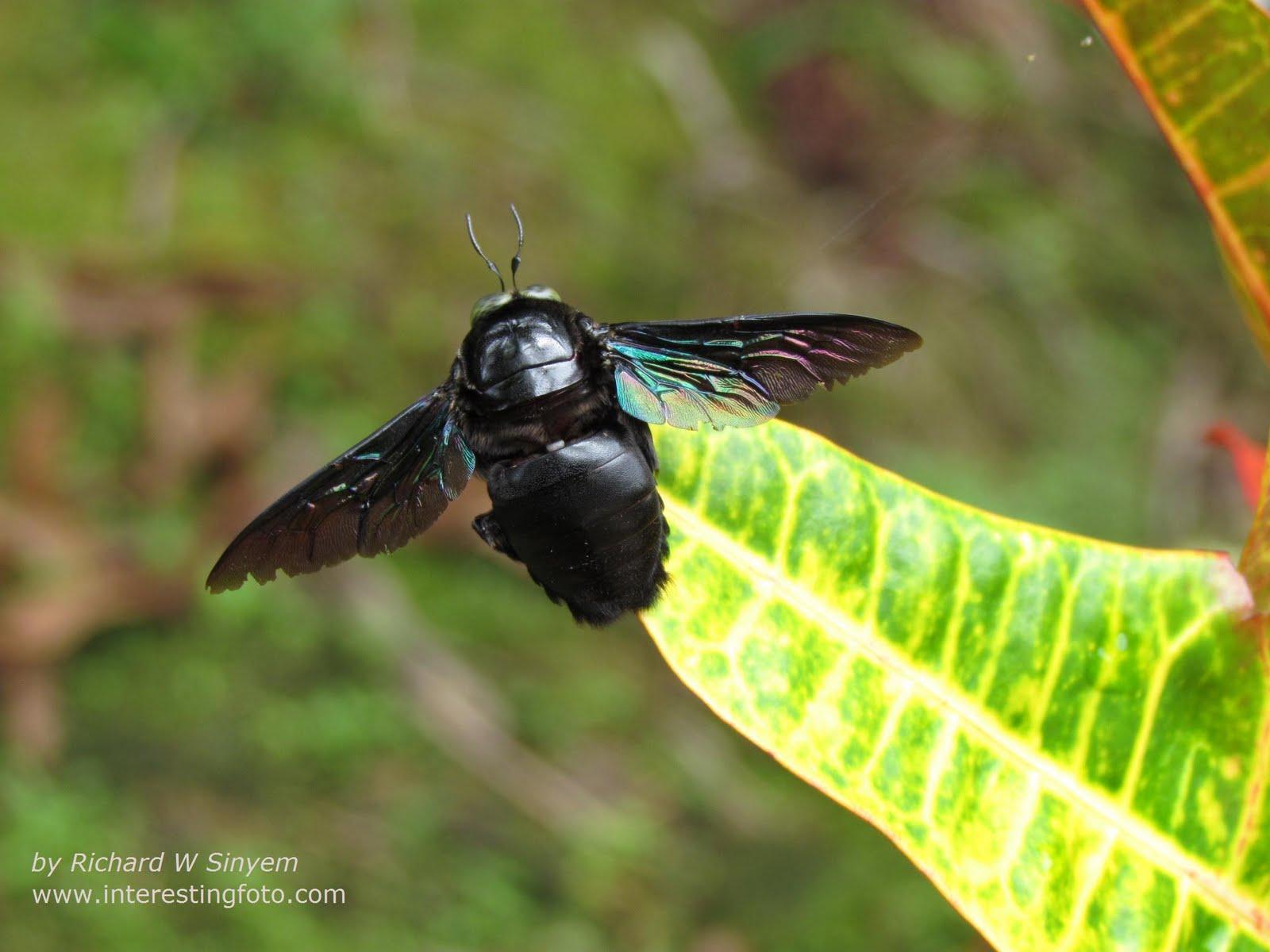 Big Black Bee 74