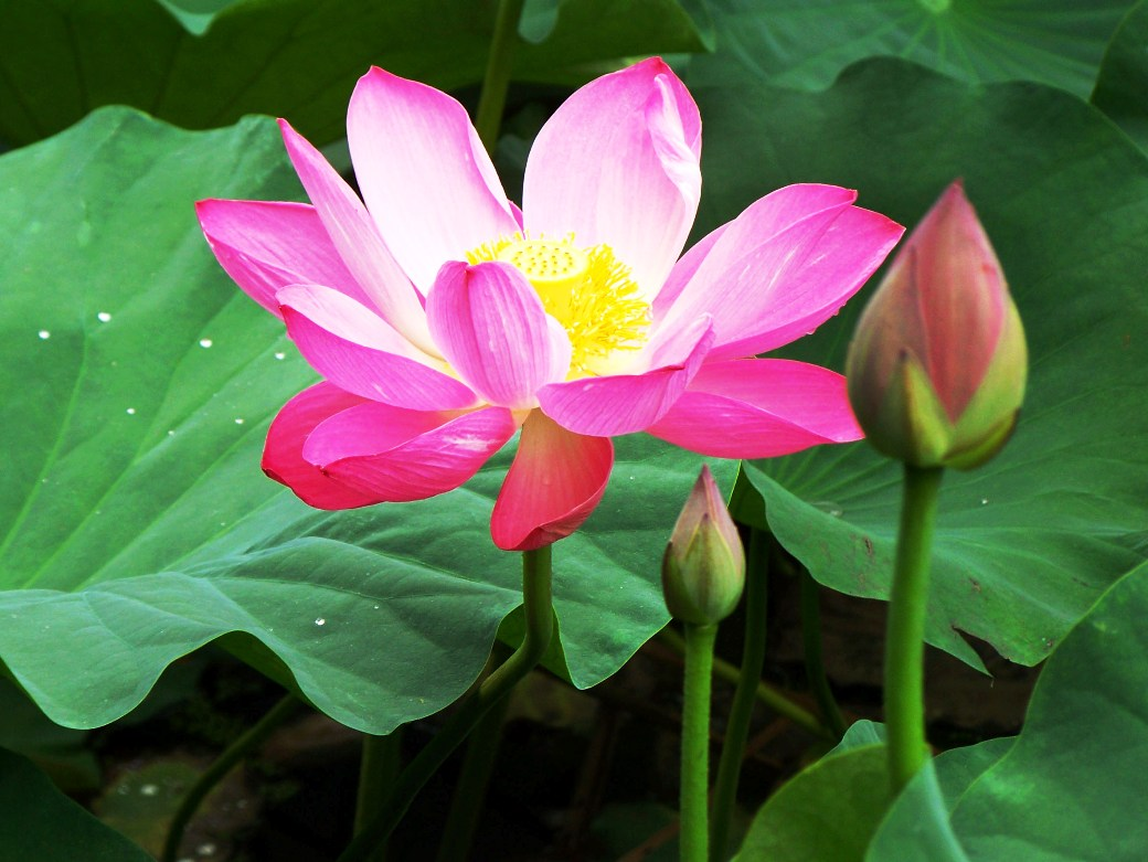 Gambar Bunga Teratai Yang Kuncup