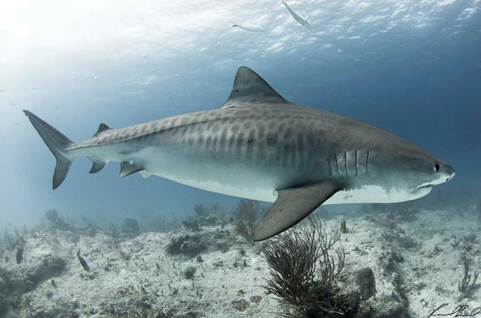 Tiburones en Galicia: Viajes del tiburón tigre
