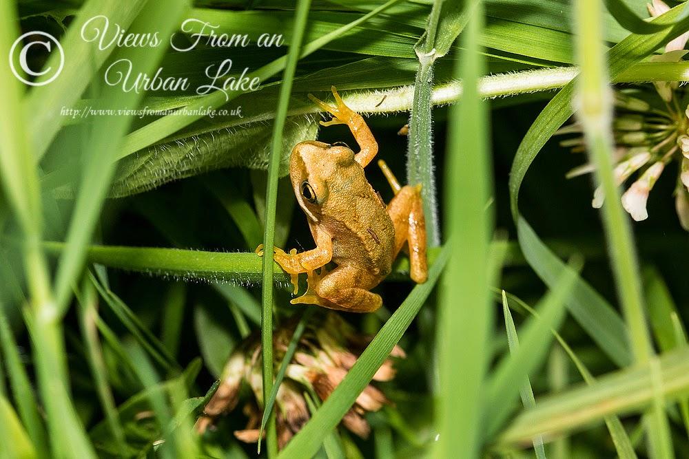Common Frog - Bradwell Abbey, Milton Keynes