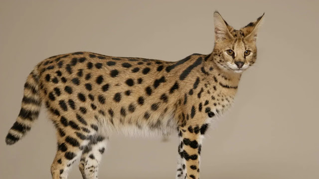 The Most Expensive Savannah Cat
