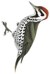 Dendropicos stierlingi