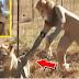 บ้าไปแล้ว..เล่นพิเรนทร์เกินไปไหม!! หนุ่มใจกล้าใส่ชุดสิงโต แกล้งสิงโตตัวเป็นๆ สุดท้ายบอกเลยเกือบตาย (ชมคลิป)