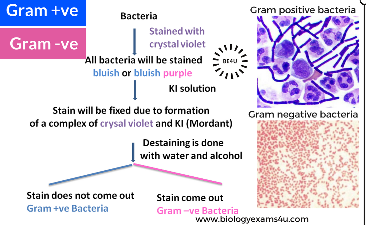 gram positive bacteria Differences between gram positive and gram negative bacteria include the thickness of the cell wall, which is approximately 20 to 30 nanometers thick in gram positive.