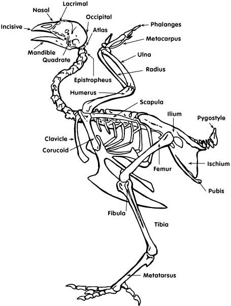Animal Science Chicken Dissection: Skeleton and Bone