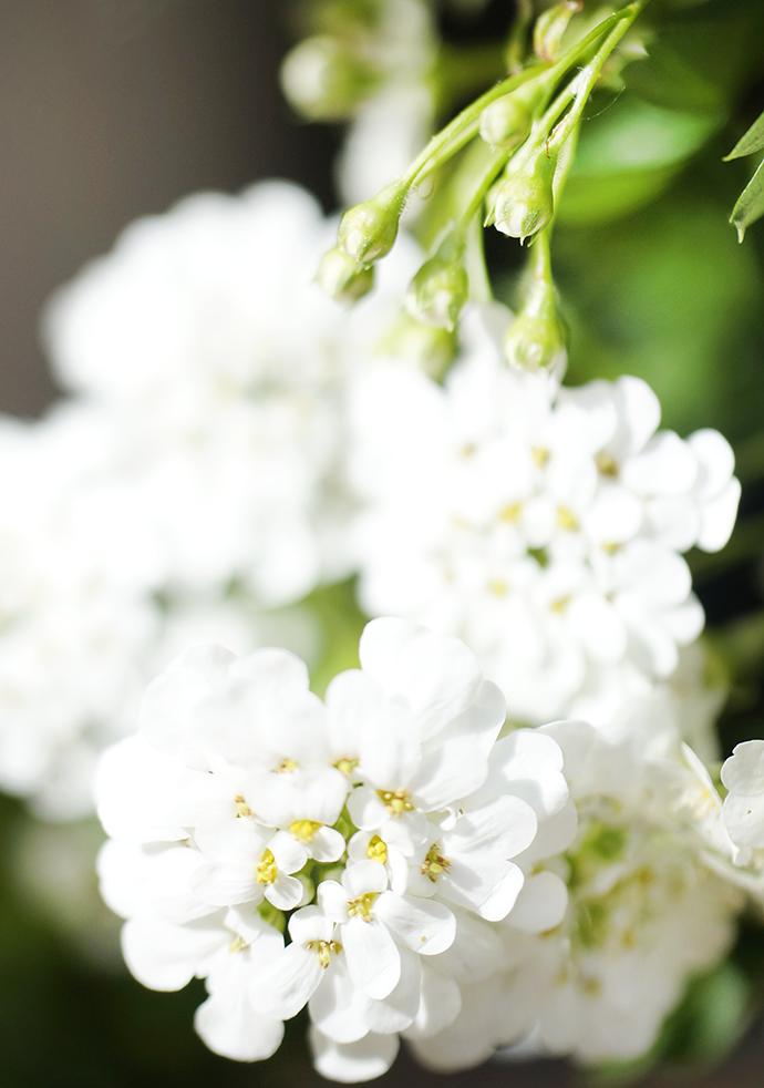 Closeup weiße Blüten