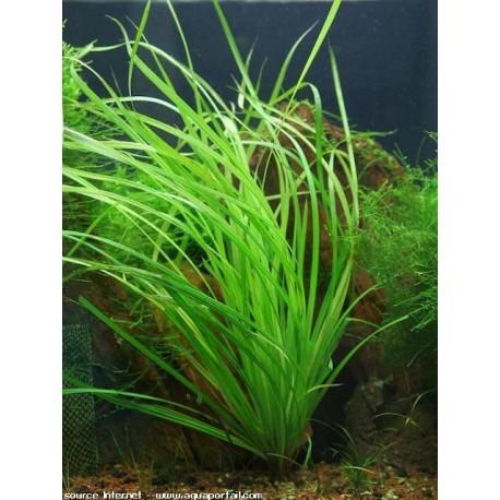 Cận cảnh cây thủy sinh cỏ Ranong