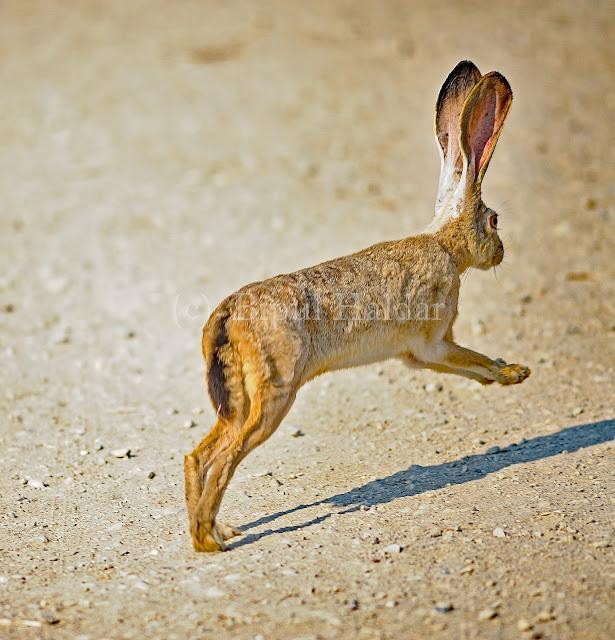 A Hopping Jackrabbit