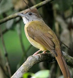 Cara Dan Tips Akurat Agar Burung Cucak Jenggot Cepat Jinak Paling Lengkap