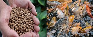 Dalam budidaya dan perawatan ikan maka faktor keberhasilan  Kabar Terbaru- PAKAN IKAN BERKUALITAS BAIK